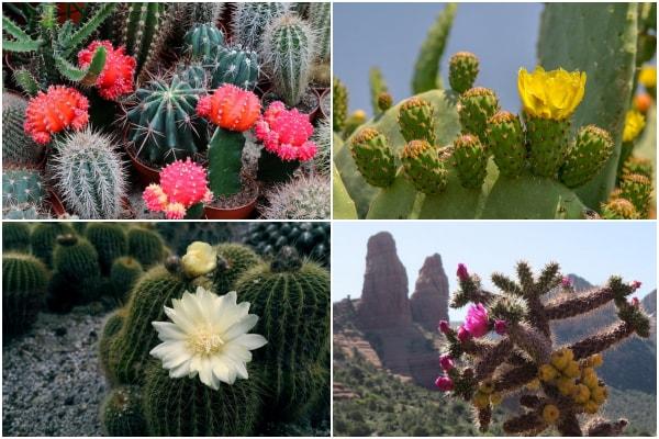 Imágenes de cactus en flor